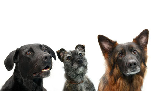 photo of three dogs - lab, terrier, german shepherd - image credit University of Edinburgh