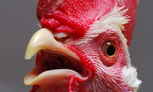 Close up image of chicken - credit The Roslin Institute