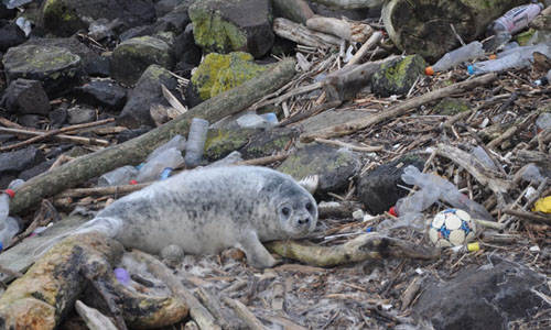 Seal on land surrounded by plastic debris -  image SRUC